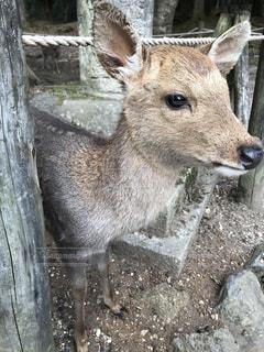 奈良公園で鹿がひょっこりはん。の写真・画像素材[1424460]