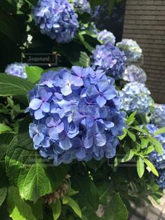 紫陽花の写真・画像素材[1358079]