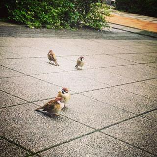歩道の上を歩く雀の写真・画像素材[1357533]