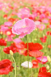 poppyの写真・画像素材[1358175]