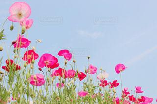 poppyの写真・画像素材[1375400]