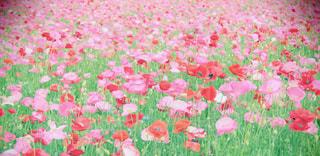 poppyの写真・画像素材[1375412]