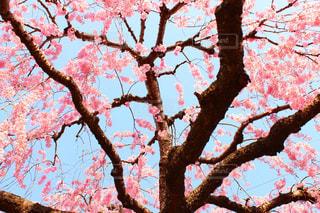 桜の写真・画像素材[1418162]