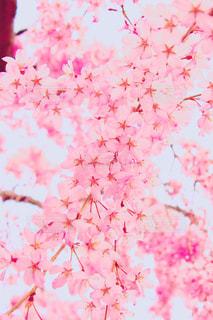 桜の写真・画像素材[1418176]