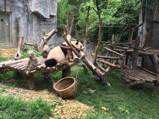 休憩パンダの写真・画像素材[1369048]