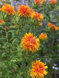 紅花の写真・画像素材[1358709]