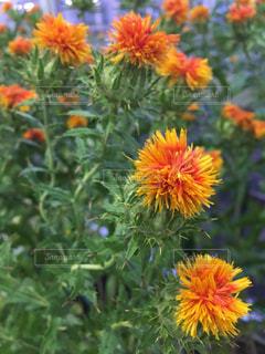 紅花の写真・画像素材[1358710]