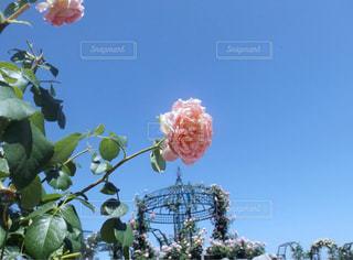薔薇の写真・画像素材[1417196]