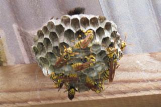 蜂の巣の写真・画像素材[1359577]