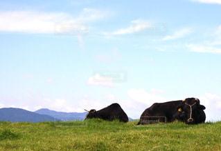 緑豊かな緑の草原に放牧牛の群れの写真・画像素材[1486629]