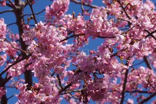 ピンクの花の木の写真・画像素材[1360021]