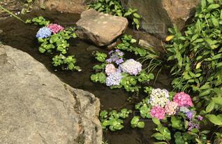 池に紫陽花の写真・画像素材[2253685]