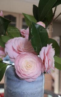 春的椿を愛でるの写真・画像素材[4304765]