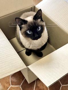 ボックスに入る猫の写真・画像素材[1360733]