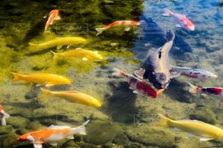 水中を泳ぐ鯉の写真・画像素材[1361133]