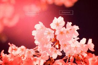 夜桜の写真・画像素材[1361201]