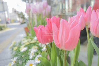 ピンクのチューリップの写真・画像素材[1363108]