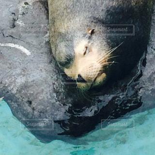 うたた寝するアシカの写真・画像素材[1364062]