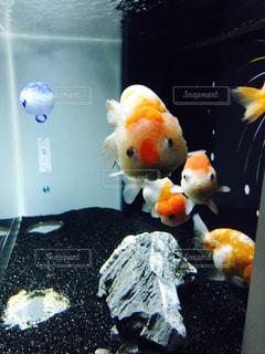 こっちを見てる金魚の写真・画像素材[1366987]