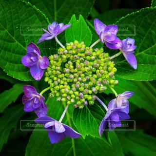 近くに紫の花のアップの写真・画像素材[1377541]