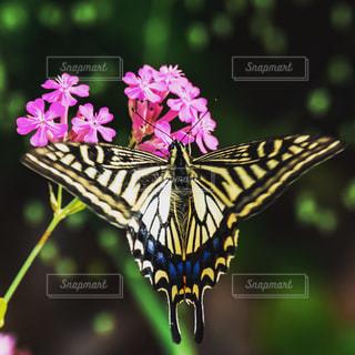 近くの花とアゲハチョウのアップの写真・画像素材[1377544]