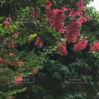 庭の赤い花の写真・画像素材[1365026]