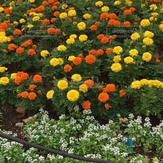 カラフルな花💐の写真・画像素材[1512470]