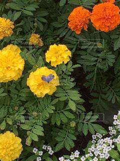 マリーゴールドにとまったハート♥️に見えるしじみ蝶🦋の写真・画像素材[1512472]