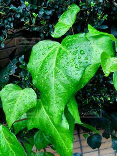 雨上がりの葉の雫💧の写真・画像素材[1604561]