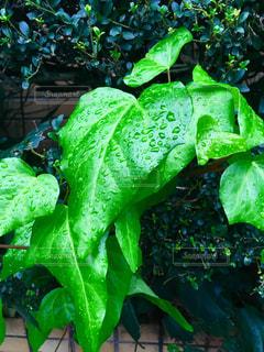 雨上がりの葉の雫💧の写真・画像素材[1604563]