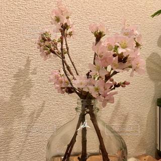 お花屋さんから買って来た一足早い桜🌸の写真・画像素材[1856210]