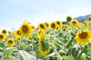向日葵の写真・画像素材[1366631]