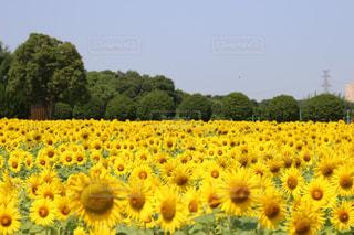 ひまわり畑の写真・画像素材[1365835]