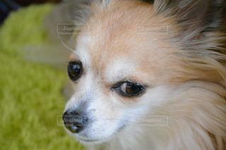 犬の写真・画像素材[152102]