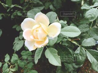 白い花の写真・画像素材[1366291]