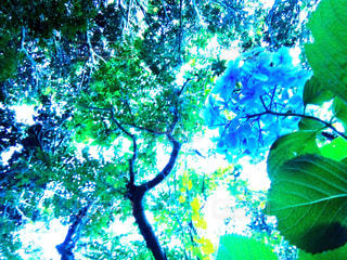 紫陽花の写真・画像素材[1366553]