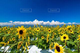南アルプスと明野のひまわり畑の写真・画像素材[1367274]