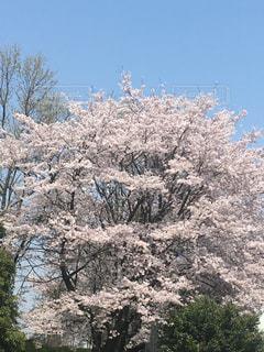 大きな桜の木の写真・画像素材[1369653]
