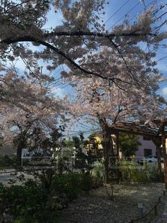 カフェ前の桜の写真・画像素材[1369654]