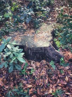 森の中の切り株の写真・画像素材[1676870]
