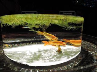 金魚の写真・画像素材[1370291]