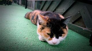 ニョロニョロいもむしのような三毛猫ちゃんの写真・画像素材[1371017]