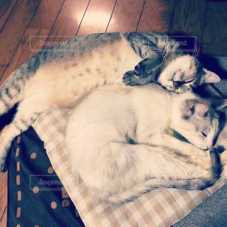 寄り添いあって仲良く寝る猫たちの写真・画像素材[1370047]