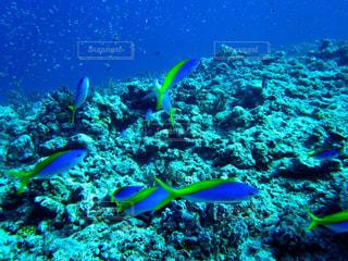 久米島ダイビングで出会ったルリスズメダイの群れの写真・画像素材[1386948]