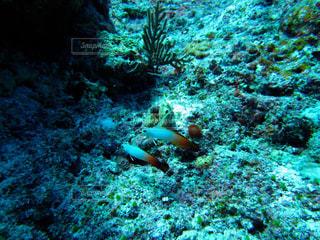 久米島ダイビングにて、つがいのハタタテハゼの写真・画像素材[1386949]