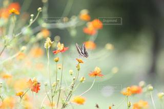 コスモスとアゲハチョウの写真・画像素材[1537490]