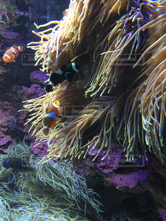 サンゴとカクレクマノミの写真・画像素材[1378519]