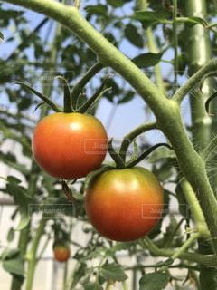 ミニトマトの写真・画像素材[1377052]