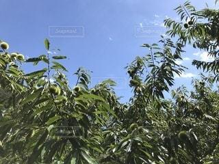 栗の木の写真・画像素材[1407480]