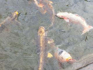 鯉の写真・画像素材[1373920]